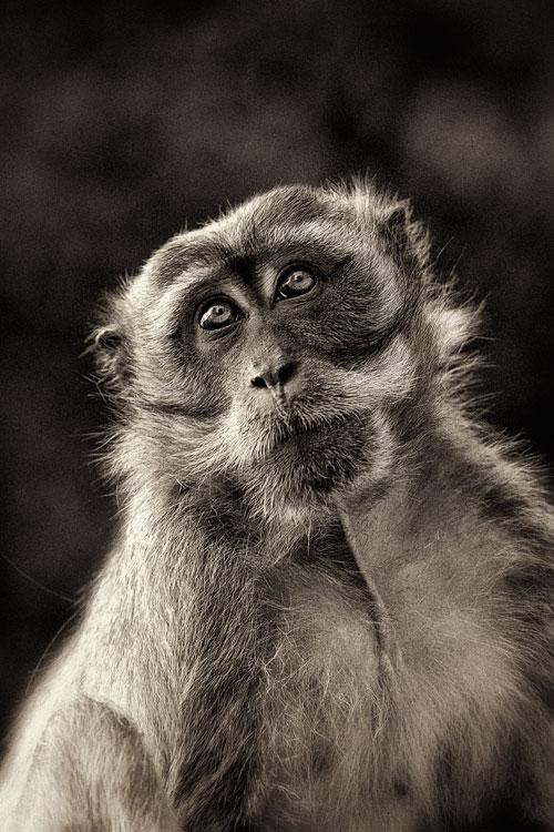 Monkey bw
